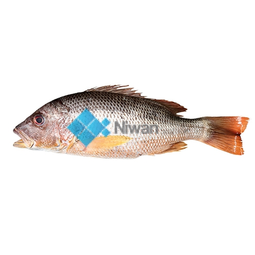 Fresh Red Snapper also known as Heera fish is ready for online seafood delivery in Pakistan